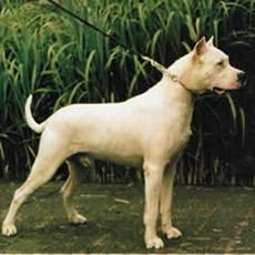 Dogo Argentino 4
