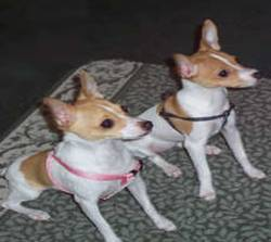 Miniature Fox Terrier 2