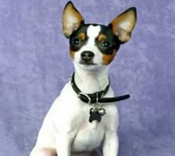 Miniature Fox Terrier 3