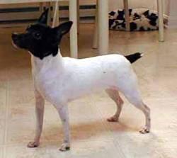 Miniature Fox Terrier 4