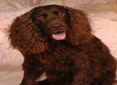 Quail Hunting Dogs 1