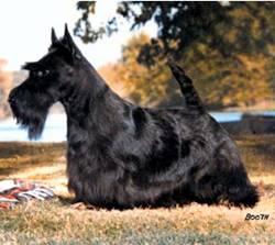 Scottish Terrier 3